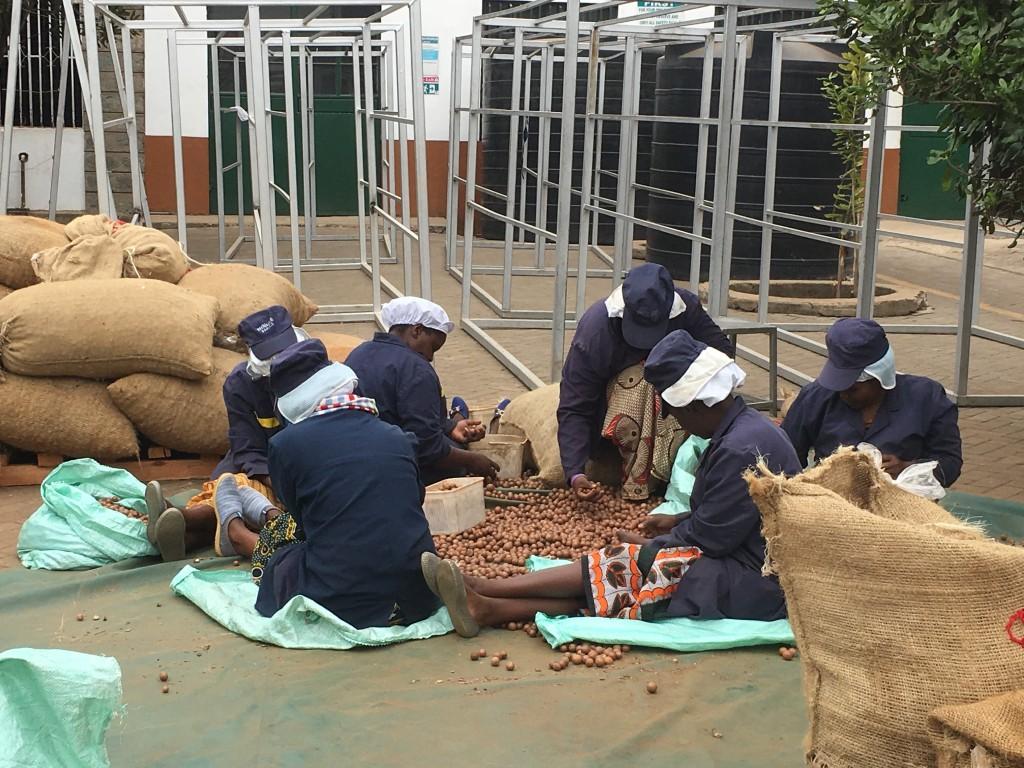 Vorselektierung der eingehenden Roh-Macadamia-Nüsse in Schale